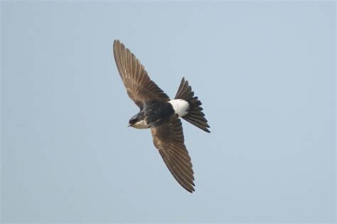 house martin where are our house martins birds on the edgebirds on the edge