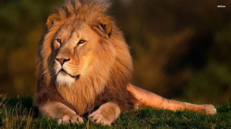 wallpaper hd of lion lion pictures hd wallpapers lion hd animal wallpapers