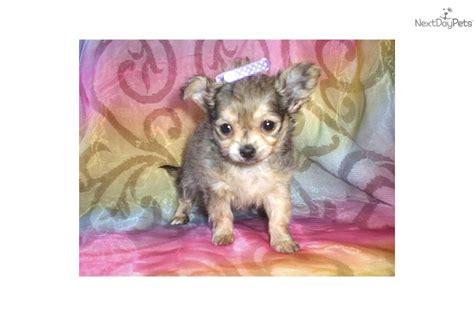 munchkin puppies meet munchkin a chihuahua puppy for sale for 400 munchkin