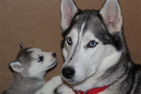 husky puppies with blue 3 siberian huskies left gillingham kent pets4homes