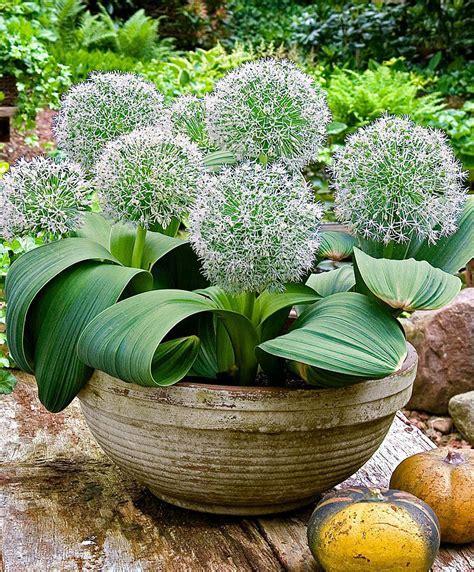 Buy Allium 'Ivory Queen'   Bakker.com