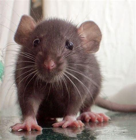 membuat jebakan tikus curut curut quot tikus kecil quot catatan harian qc inspector