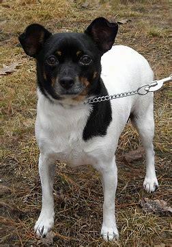 rat terrier mix puppies rat cha rat terrier x chihuahua mix info temperament puppies pictures