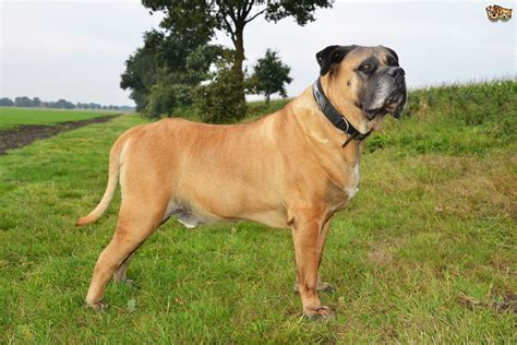 boerboel puppy boerboel breed information buying advice photos and facts pets4homes