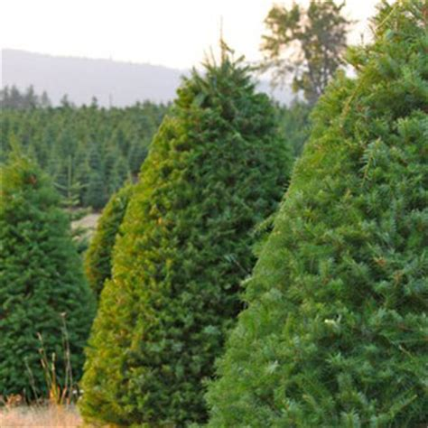 douglas fir pinery christmas trees