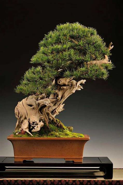 choosing growing bonsai 0600614425 choosing a pot suitable for growing a bonsai tree or don t back the wrong horse