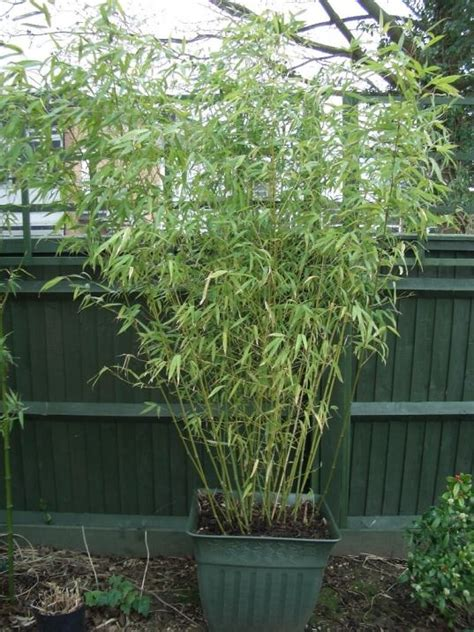 bambu in vaso il bamb 249 in vaso verdeblog