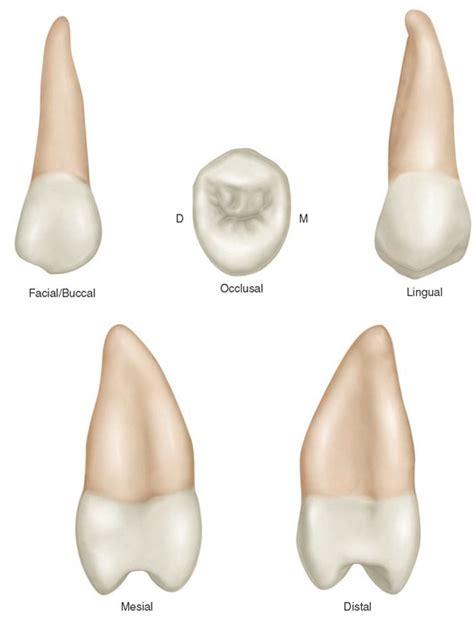 Maxillary Premolar Opinions On Maxillary Second Premolar