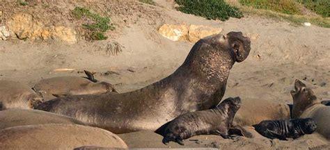 Walrus Vs Elephant Seal by Walrus Vs Elephant Seal Size