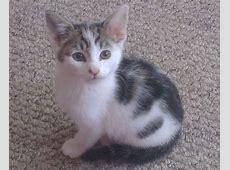 2 x Rescue Kittens for sale - SHEFFIELD | Sheffield, South ... Kittens For Sale