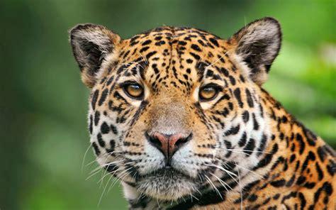 jaguars rainforest jaguar of the tropical rainforest wallpaper 2560x1600