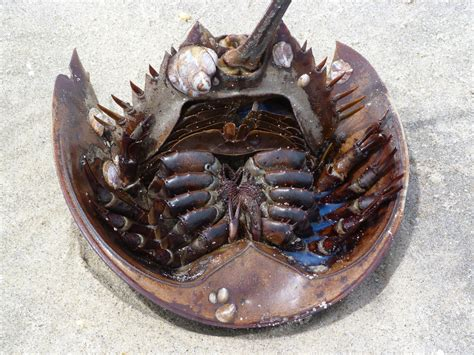 what color is horseshoe crab blood biolegend a crab in shining armor how horseshoe