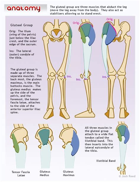 glute muscles diagram 44 best images about anatomy on the characters