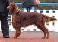 irish setter dog wiki irish setter wikipedia