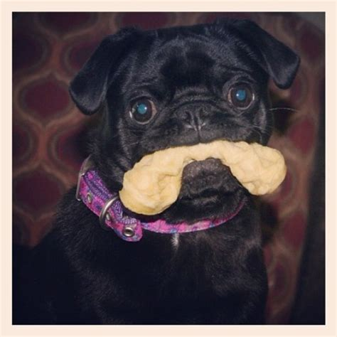 i m going to eat you pug 89 curated baby pugs and other cutie pies ideas by lynnespeed haha pug and