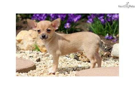 chihuahua puppies for sale near me chihuahua puppy for sale near lancaster pennsylvania d95854cb 57a1