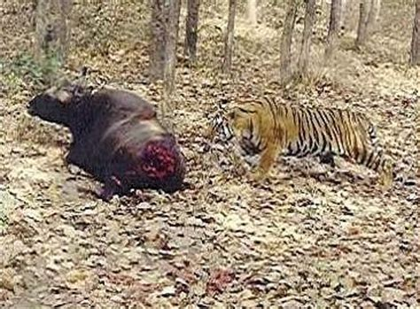 failed gaur hunt in lion vs tiger discussion forum