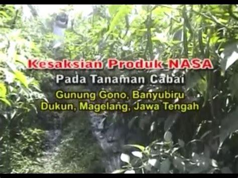 Bibit Belut Di Jawa Tengah budidaya cabai merah organik nasa di magelang jawa tengah