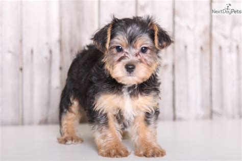 brown and black yorkie poo lucky yorkie poo black brown terrier for sale in columbus oh