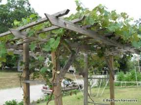grapevine trellis design 17 best images about grape goodness on