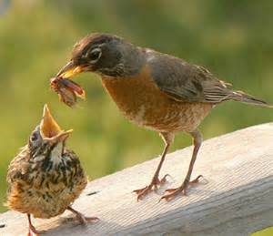 kidnapping baby animals american robin robins and bird