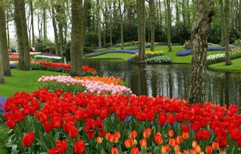 wallpaper bunga tulip di belanda holland and belgium cruises rhine river tulip time cruises