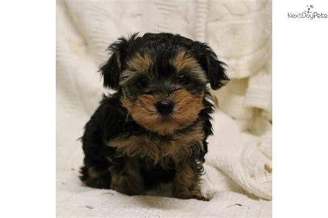 yorkie poo haircuts styles pictures shih tzu yorkie mix