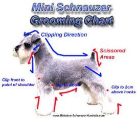 schnauzer hair cut step by step mini schnauzer grooming tips for pets miniature