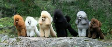 poodle colors poodle colours great pics poodles