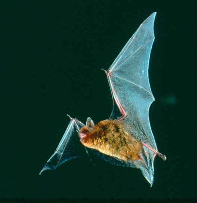 bats in backyard bats in your backyard uf ifas extension pinellas county