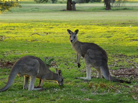 kangaroos nature and wildlife australia