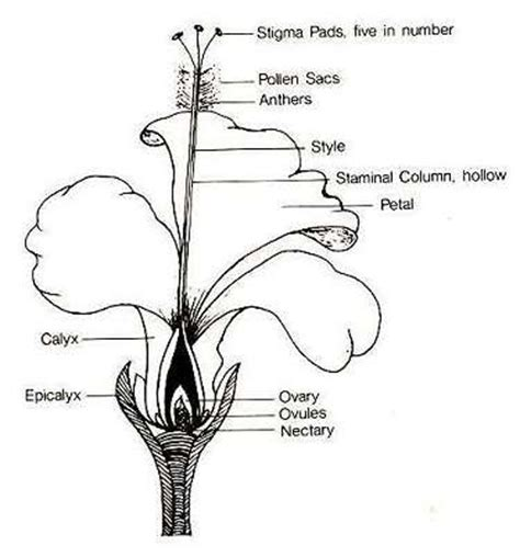 floral diagram of hibiscus tropical hibiscus green county mga