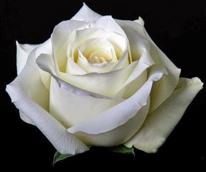 imagen de una hermosa rosa blanca para whatsapp brotes de amor significado de la rosa blanca