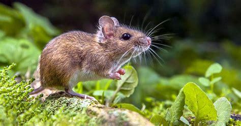 cara membuat perangkap tikus alami cara mengusir tikus secara alami rumah dan kebun