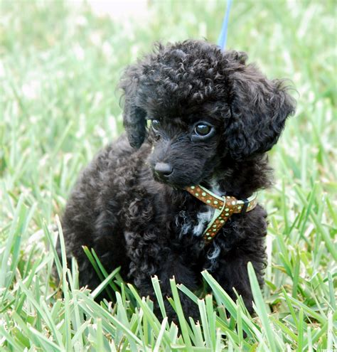 lifespan for miniature poodle miniature poodle puppy exercise dogs in our photo