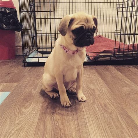 pug manchester 5 month year pug puppy for sale manchester greater manchester pets4homes