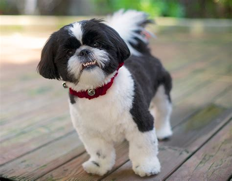 underbite shih tzu my top 7 photos of dogs with underbites rogers pet and animal photography
