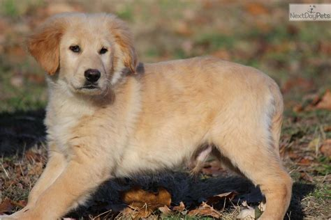 golden retriever puppies for sale in grand rapids michigan golden retriever puppy for sale near grand rapids michigan 3a0962b3 d591