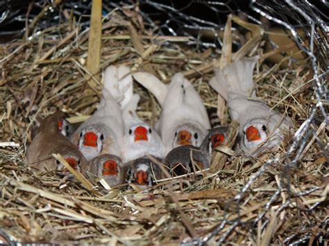 lovely zebra and bangalese finches for sale liverpool