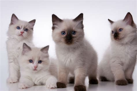 o que é ragdoll a family of ragdolls 171 espa 231 o animal