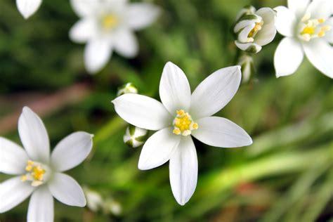 sta fiori of bethlehem il fiore accende la notte dell