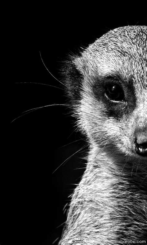 black and white animals black and white meerkat portrait by diana barocsi on 500px