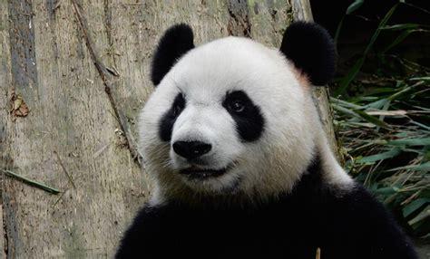 imagenes de osos navideños oso panda entre el cari 241 o y terror