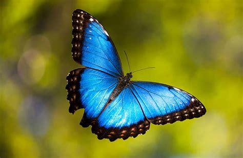 Imagenes De Mariposas Morfo Azul   image gallery morfo azul