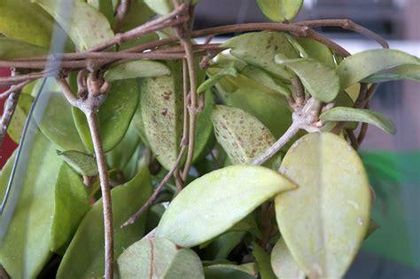 hoya plant diseases hooked on hoya cubit bugs mildews strange stuff forum