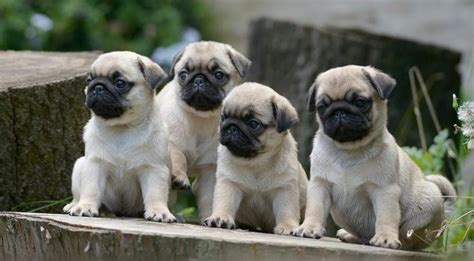 pug breeders missouri pug cover photos for your timeline pug puppies pug covers