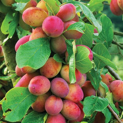 does all fruit grow on trees fruit trees plum fruit trees