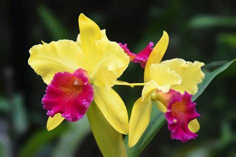 solitario dei fiori fiore cattleya scelte per te giardino