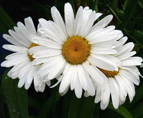 flower picture daisy flower 3 three white daisy flowers jpg