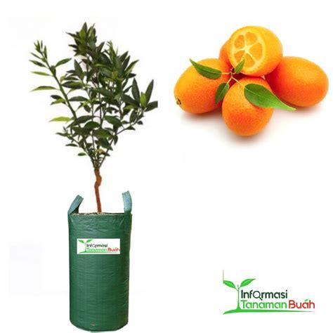 bibit jeruk nagami jeruk asal jepang yang dapat dimakan